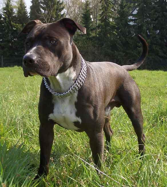 Kampfhund Staffordshire Terrier